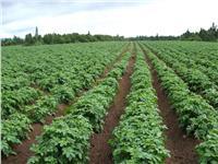 تعرف على توصيات الزراعة لمزارعي البسلة والثوم والخرشوف