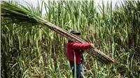 التموين تسدد ٧١٦ مليون جنيه لمزارعي القصب
