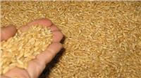 تأجيل نظر إشكال للاستمرار في تنفيذ حكم منع استيراد القمح الروسي لـ3 أبريل