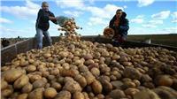 الحكومة توضح حقيقة حظر روسيا استيراد البطاطس المصرية
