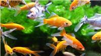 حراشف الأسماك تساهم في علاج الحروق