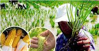 من «الأرز المكثف» إلى «القمح المبرد».. ثورة في زراعة المحاصيل الموفرة