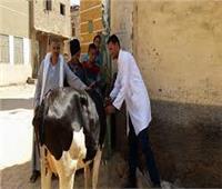 «بيطري المنيا» تواصل تحصينات الماشية ضد مرض الجلد العقدي