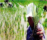 تصريح هام من «الزراعة» بشأن سعر الأرز