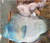 صور| كارثة.. سمكة نابليون النادرة للبيع في سوق العبور