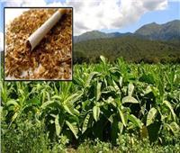 ما لا تعرفه عن زراعة «التبغ» وأسباب منعها في مصر