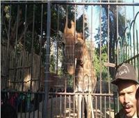 بـ«السرسوب» و«الفاكهة».. هكذا استعدت حديقة الحيوان لاستقبال «الزرافة» الجديدة