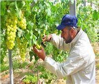 لمزارعي «العنب».. اتبع هذه النصائح لحماية المحصول