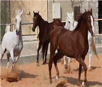 «الزراعة»: ارتفاع صادرات الخيول العربية إلى 47 حصانا