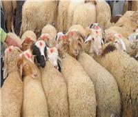 «الزراعة» تطرح أضاحي العيد بأسعار مخفضة