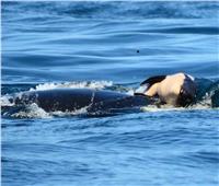 أمومة الحيتان.. رفضت تقديم رضيعها النافق «وجبة للأسماك»
