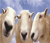خروف العيد.. «أونلايـن»!
