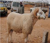 «شراء الأضحية»يجسد الترابط الأسري في سيناء