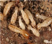 «الزراعة»: تخصيص خط ساخن لمكافحة «النمل الأبيض»