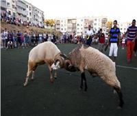 «مصارعة الكباش» أبرز مظاهر الاحتفال بعيد الأضحى في تونس