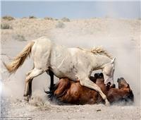 صور  معركة وحشية بين حصانين بريين في الصحراء الغربية الأمريكية
