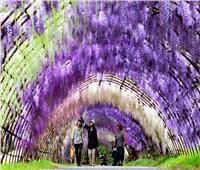 شاهد| نفق «ويستيريا».. جمال تزينه الزهور النادرة باليابان