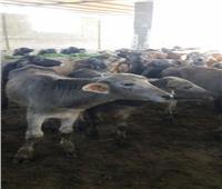 بدء الحملة القومية الثانية لتحصين الماشية الشهر المقبل