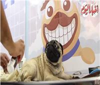 فيديو| أول سيارة «دليفري» لحلاقة الكلاب والقطط في مصر