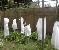 «دراسات وبحوث السكر» بأسيوط ينتج بذور نبات بنجر محلية