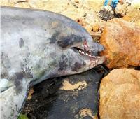 صور| وزير التعليم العالي: العثور على دولفين نافق بجوار شاطئ تيوليب