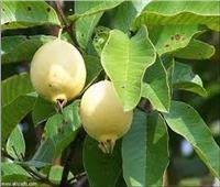 نصائح لمزارعي الجوافة لمواجهة ذبابة الفاكهة