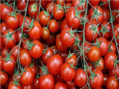 «التقاوي الفاسدة» تثير «جنون الطماطم»!