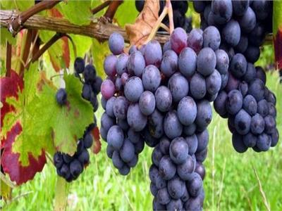 دارسة: العنب يكافح سرطان الرئة
