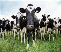 ظهور «جنون البقر» مرة أخرى في بريطانيا
