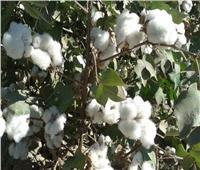 «الزراعة»: الحقول الإرشادية للقطن تنجح في زيادة إنتاجية الفدان