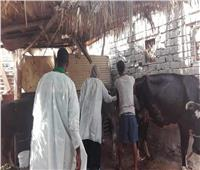 «الطب البيطري بالبحر الأحمر»: تحصين 15 ألف رأس ماشية ضد «الحمى القلاعية»