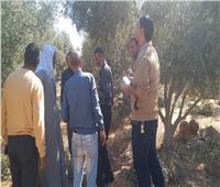 صور.. «الزراعة» تعلن عن الحالة العامة لأشجار الزيتون بوادي النطرون