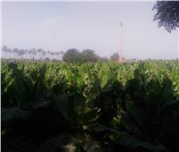 نصائح لمزارعي «الموز» لزيادة الإنتاج وتجنب التغيرات المناخية