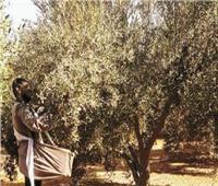 مزارع الزيتون تغزو الصحراء