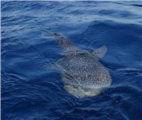 ظهور القرش الحوتي جنوب الغردقة