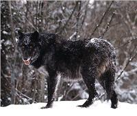 ظهور نادر للذئب الأسود في الصين
