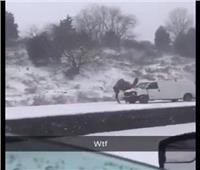 صدق أو لا تصدق.. «جمل عربي» يظهر وسط عاصفة ثلجية| فيديو