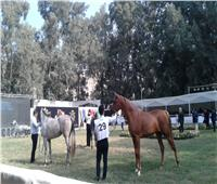 صور| «الزراعة» : محطة الزهراء معقل الحصان العربي المصري الأصيل من القرن الماضي