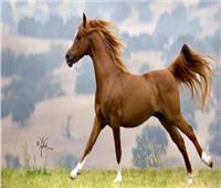 فيديو| الهيئة الزراعية: 14 دولة أجنبية تشارك في مهرجان الزهراء للخيول