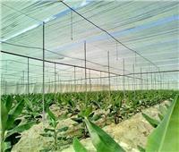 نصائح  لمزارعي حدائق الموز لمكافحة مرض التبرقش وزيادة الإنتاج