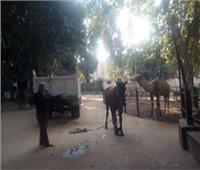 رئيس مدينة شبرا الخيمة يصادر «عربة كارو».. ويرسل الحصان لـ«حديقة الحيوان»