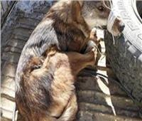 فيديو  سيدة تنقذ ذئبا نادرا قبل بيعه على «الفيسبوك»