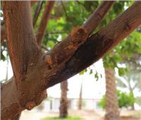 تعرف على مرض «تصمغ الموالح» أسبابه وطرق مكافحته