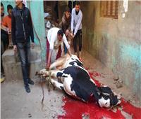 والد «عروس بنها» يذبح عجل احتفالا بإعدام قاتل ابنته