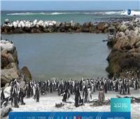 شاهد| مركز أبحاث ينقذ البطريق الإفريقي من الانقراض