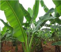 لمزارعي «حدائق الموز»..اتبع هذه النصائح لمكافحة الآفات وزيادة الإنتاج