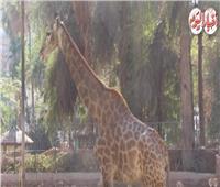 فيديو| بمناسبة الفلانتين.. قصص حب من داخل حديقة الحيوان