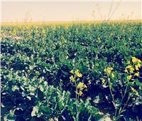«أبوستيت»: زراعة «الكانولا» أحد حلول سد فجوة نقص الزيوت