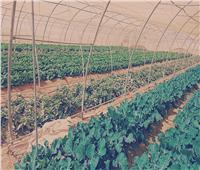 فيديو| «بوابة أخبار اليوم» ترصد تجربة الصوب الزراعية بمشروع غرب المنيا