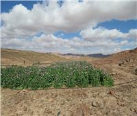 إعدام 18 مزرعة للمواد المخدرةبمنطقة «وادي شهب»